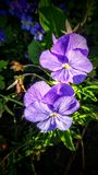 Purple pansy's Royalty Free Stock Photos