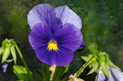Purple pansy, Viola altaica or dog-violet flower in glade with yellow pollen Royalty Free Stock Photo