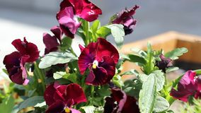 Purple Pansy stock video footage