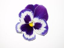 Purple Pansy on White Royalty Free Stock Image