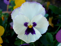 Purple & Pansy with Yellow Center (Flower) Stock Image