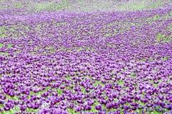 Purple papaver somniferum (opium poppy) Stock Photography