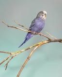Purple parakeet Stock Photography