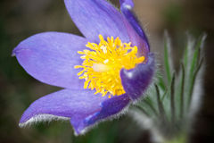 Purple pasque flower Stock Photo