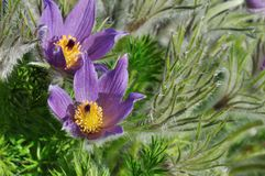 Purple pasque flowers Stock Photo