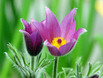 Purple pasque flowers Royalty Free Stock Photos