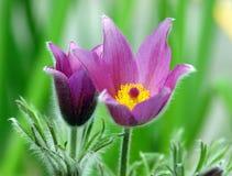 Purple pasque flowers Royalty Free Stock Photos