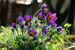 Purple pasque flowers Royalty Free Stock Photo