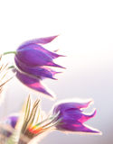 Purple pasque flowers Royalty Free Stock Photography
