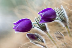 Purple pasque flowers Royalty Free Stock Image