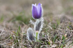 Purple pasque flowers. One of the first signs of Spring Stock Photography