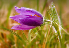 Purple pasque flowers in springtime Stock Photos