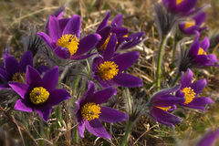 Purple pasque flowers in springtime Stock Photo
