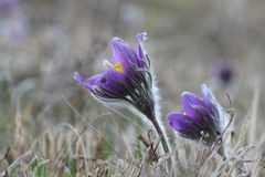 Purple pasque flowers in springtime Royalty Free Stock Photography
