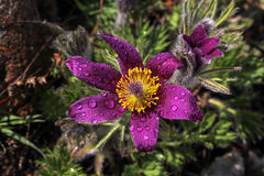Purple pasque flowers in springtime Royalty Free Stock Photo