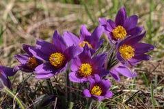 Purple pasque flowers in springtime Stock Image