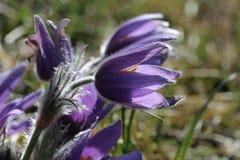 Purple pasque flowers in springtime Royalty Free Stock Image