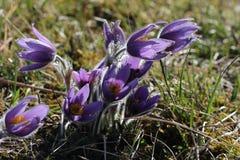 Purple pasque flowers in springtime Stock Photography