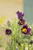 Purple pasqueflower group Stock Photography
