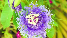 Purple Passiflora flower, passion flower tropical exotic one stock video