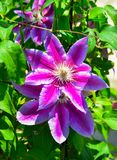 Purple Passiflora flowers royalty free stock images
