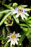 Passionflowers in bloom Purple in Garden. Purple Passion-Flower in bloom Plants and Gardens. Blue Passion-Flower Passifloraceae Passiflora caerulea - Cultivated stock photography