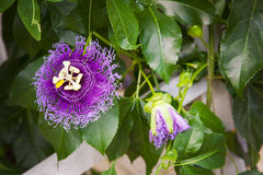 Purple passion flower Royalty Free Stock Images