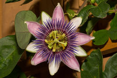 Purple Passion Flower. A macro shot of a Purple Passion flower in bloom Royalty Free Stock Photos
