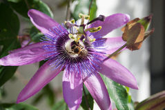 Purple passion flower open with bee. Collecting nectar stock photography