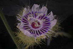 Purple passion flower stock photos