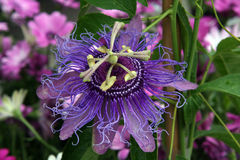 Purple Passion Flower Stock Image
