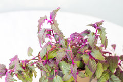 Purple passion velvet houseplant Royalty Free Stock Photo