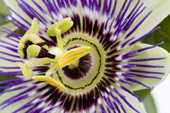 Purple Passionflower. By macro lens stock photo
