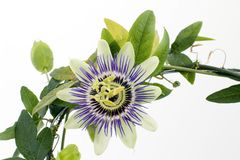 Purple Passionflower stock photography