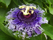 The purple passionflower. Or Passiflora  incarnata Royalty Free Stock Images