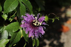 The purple passionflower Royalty Free Stock Photo