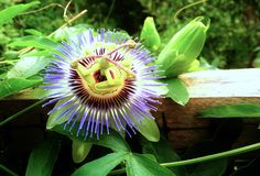 Purple Passionflower in Virginia Stock Images