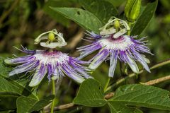 Purple Passionflowrer Maypop - Passiflora incarnata. This is the exotic looking Purple Passionflower, also called Maypop, Passiflora incarnata, a wildflower that stock image