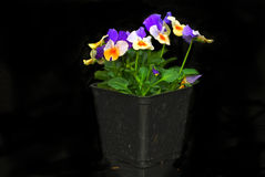 Purple Peach Pansies Stock Images