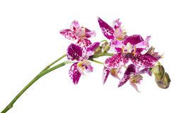 Purple peloric spotty with bud orchid isolated Stock Images