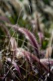 Purple pennisetum Stock Image