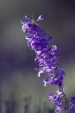 Purple Pentstemon Royalty Free Stock Photo