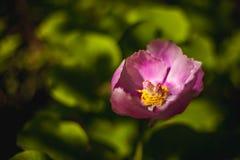 Purple peon. Close-up photo Stock Photography