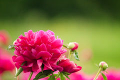 Purple peony, flower beds in the garden Stock Images