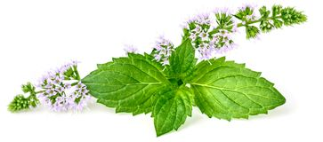 Purple peppermint flowers isolated on white. Purple peppermint flowers isolated on the white background Stock Images