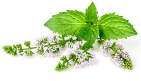 Purple peppermint flowers isolated on white. Purple peppermint flowers isolated on the white background stock image