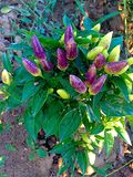 Purple peppers. Beautifull hot peppers plant filled with purple peppers Royalty Free Stock Photography
