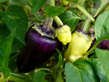 Purple peppers Stock Photos