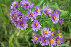 Purple Perennials New England Aster Flowers. Edible wildflowers New England Aster perennials in Ontario, Canada. Vibrant beautiful herbaceous plants and flora Royalty Free Stock Photography
