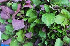 Purple perilla. Fresh purple perilla leaves at herb market Stock Image